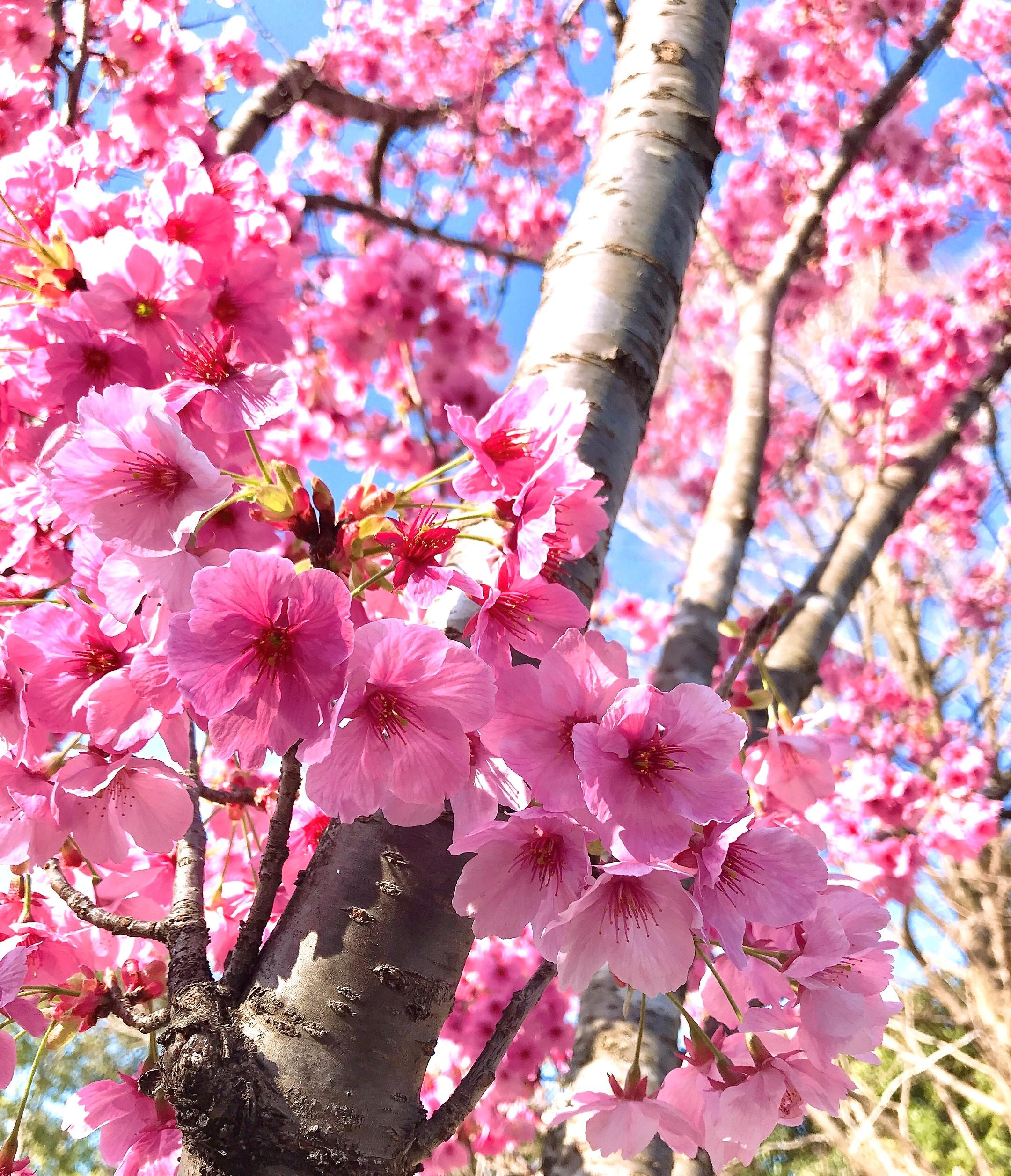 桜効果でダイエット?!